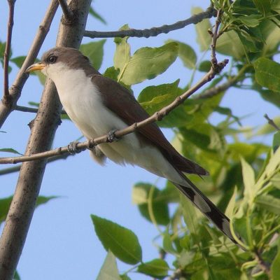 Yellow billed cuckoo bird
