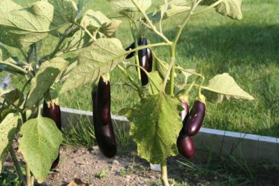 Backyard garden with eggplants
