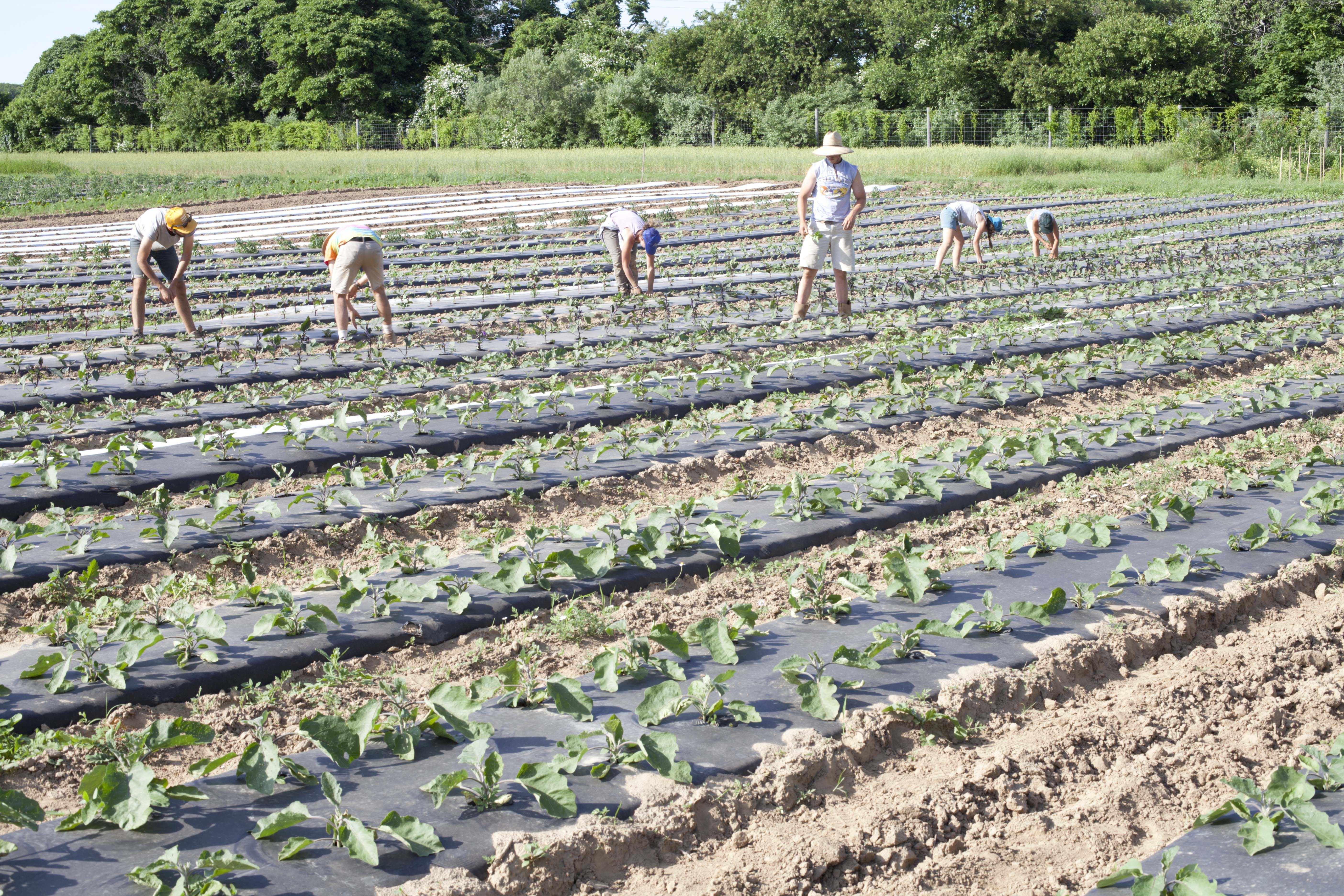 people planting new crops at Amber Waves Farm